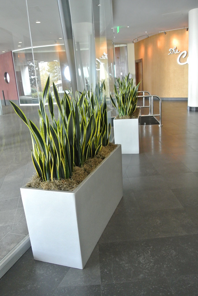 October Plant Of The Month Sansevieria Interiorscapes Inc