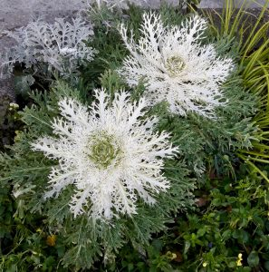 white and green ornamental cabbage